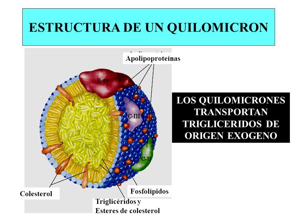 ESTRUCTURA DE UN QUILOMICRON Apolipoproteínas Fosfolípidos Triglicéridos y Esteres de colesterol Colesterol LOS QUILOMICRONES TRANSPORTAN TRIGLICERIDO