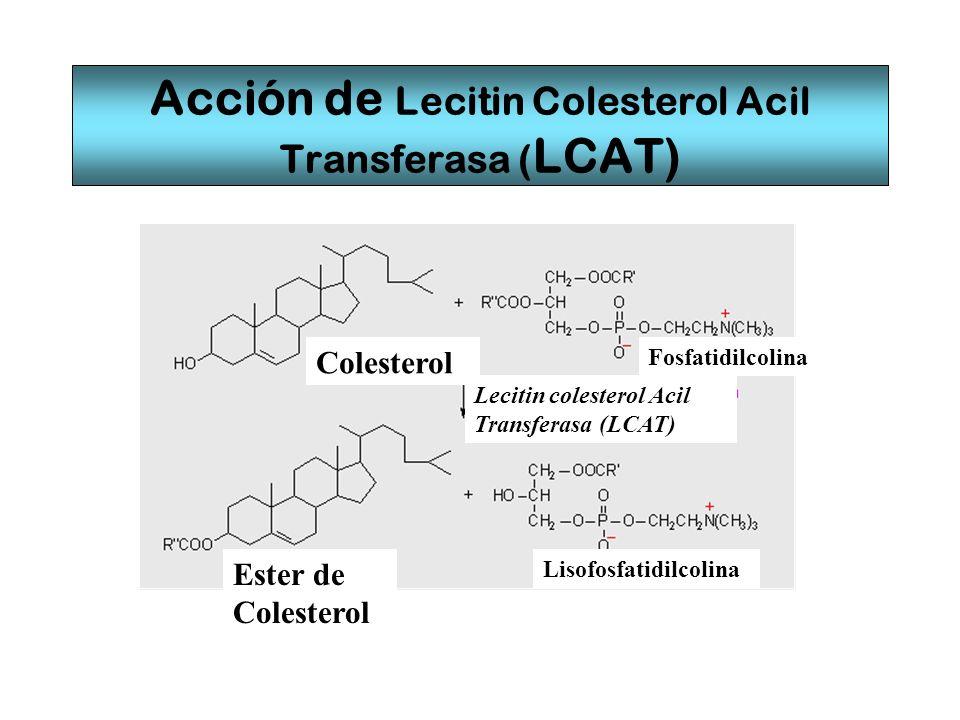 Acción de Lecitin Colesterol Acil Transferasa ( LCAT) Colesterol Ester de Colesterol Lecitin colesterol Acil Transferasa (LCAT) Fosfatidilcolina Lisof