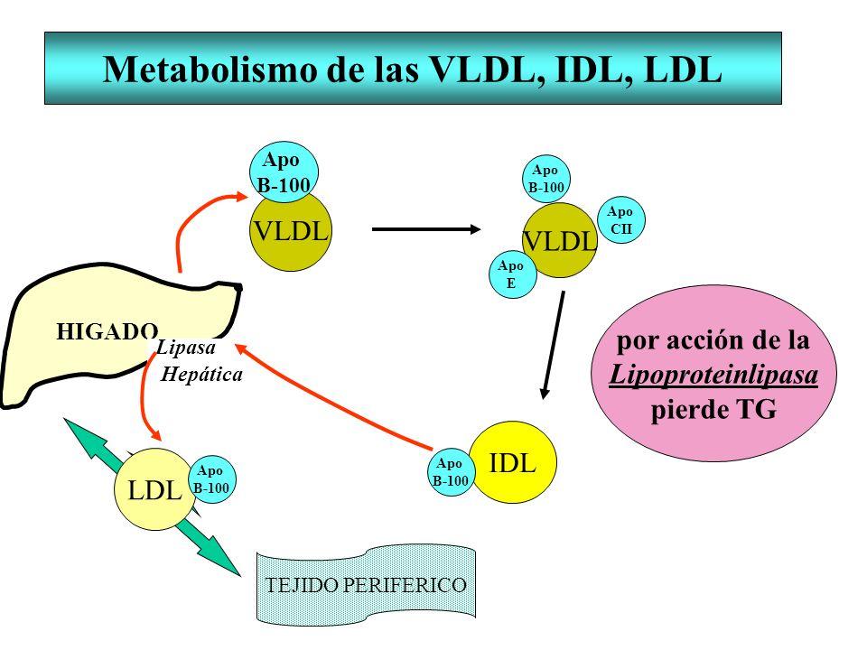 IDL Metabolismo de las VLDL, IDL, LDL HIGADO VLDL Lipasa Hepática TEJIDO PERIFERICO Apo B-100 Apo B-100 Apo CII Apo E Apo B-100 LDL Apo B-100 por acci