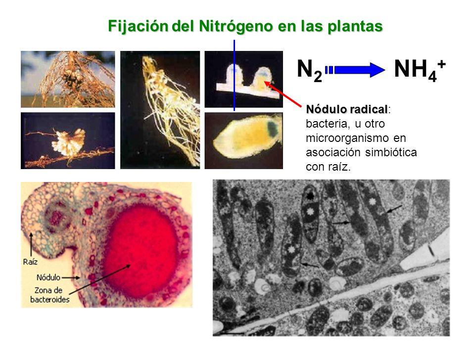 Fijación del Nitrógeno en las plantas N2N2 NH 4 + Nódulo radical Nódulo radical: bacteria, u otro microorganismo en asociación simbiótica con raíz.