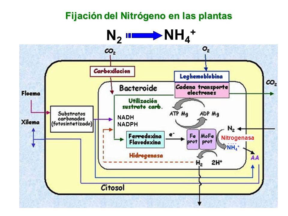 NH 4 + Fijación del Nitrógeno en las plantas Nitrogenasa N2N2 NH 4 + NADH NADPH