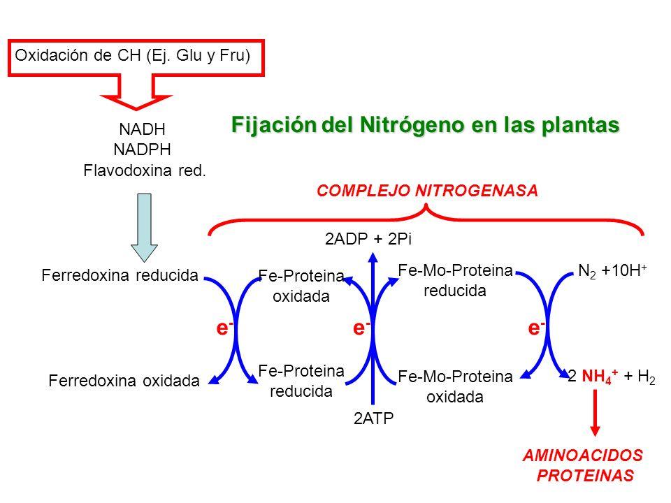 Oxidación de CH (Ej. Glu y Fru) NADH NADPH Ferredoxina reducida Ferredoxina oxidada Fe-Proteina oxidada Fe-Proteina reducida Fe-Mo-Proteina reducida F