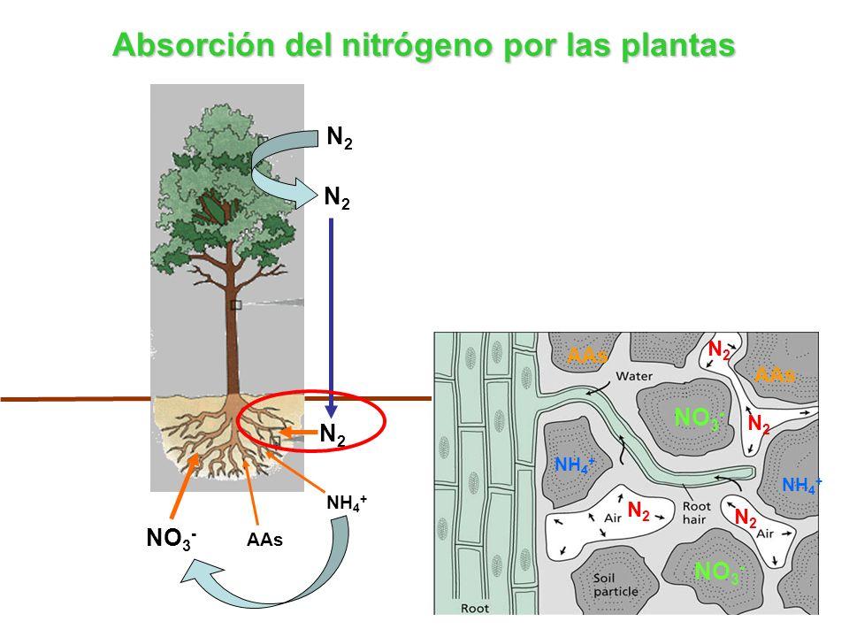 N2N2 N2N2 N2N2 NH 4 + AAs NO 3 - Absorción del nitrógeno por las plantas N2N2 N2N2 N2N2 N2N2 NH 4 + NO 3 - AAs NH 4 + AAs
