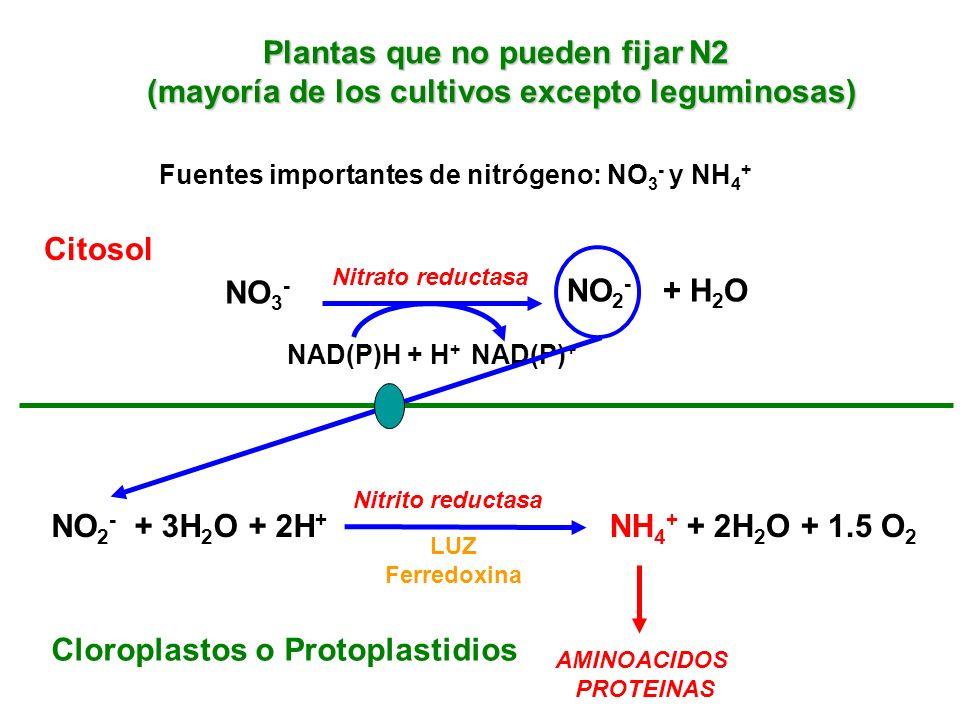 Plantas que no pueden fijar N2 (mayoría de los cultivos excepto leguminosas) Fuentes importantes de nitrógeno: NO 3 - y NH 4 + NO 3 - NO 2 - + H 2 O N