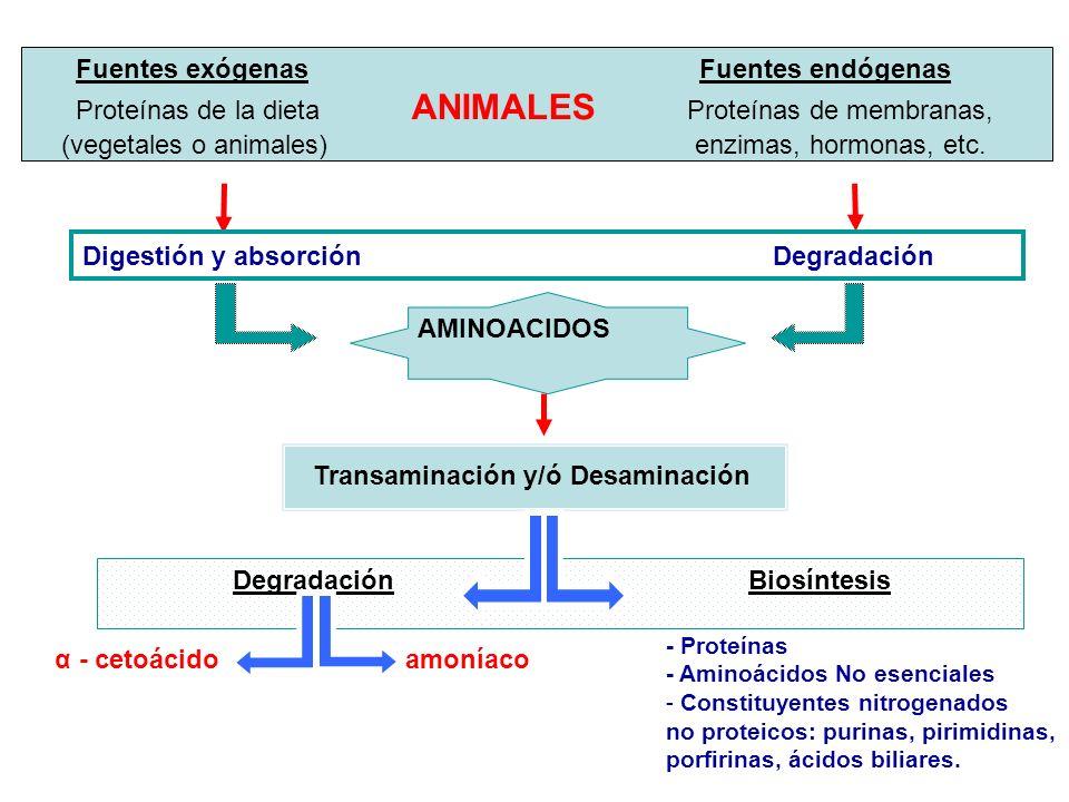 Fuentes exógenas Fuentes endógenas Proteínas de la dieta ANIMALES Proteínas de membranas, (vegetales o animales) enzimas, hormonas, etc. Digestión y a