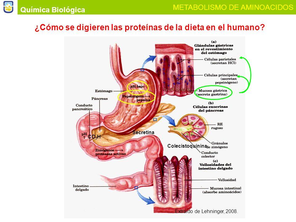 Química Biológica METABOLISMO DE AMINOACIDOS ¿Cómo se digieren las proteínas de la dieta en el humano? Extraído de Lehninger, 2008. Secretina CO 3 H -