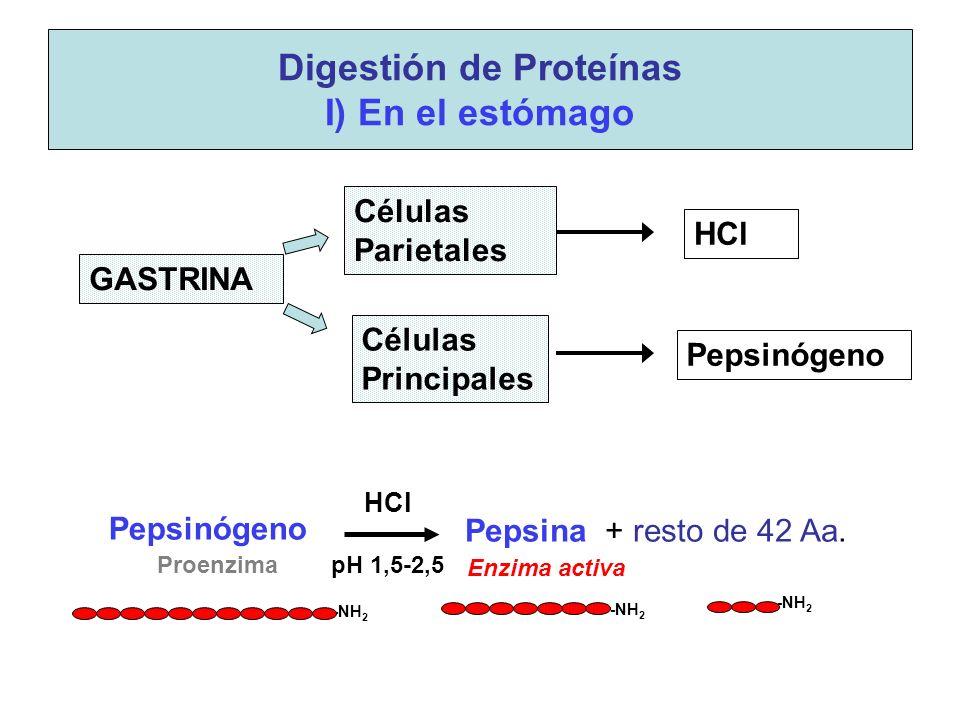 Pepsinógeno Digestión de Proteínas I) En el estómago pH 1,5-2,5Proenzima -NH 2 GASTRINA Células Parietales Células Principales HCl Pepsinógeno Pepsina