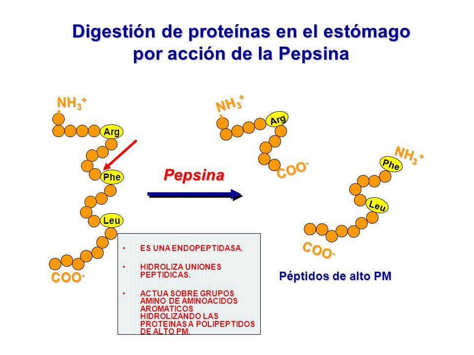 Digestión de proteínas en el estómago por acción de la Pepsina COO - NH 3 + Arg Phe Leu Pepsina Pepsina Péptidos de alto PM COO - COO - Phe Leu NH 3 +