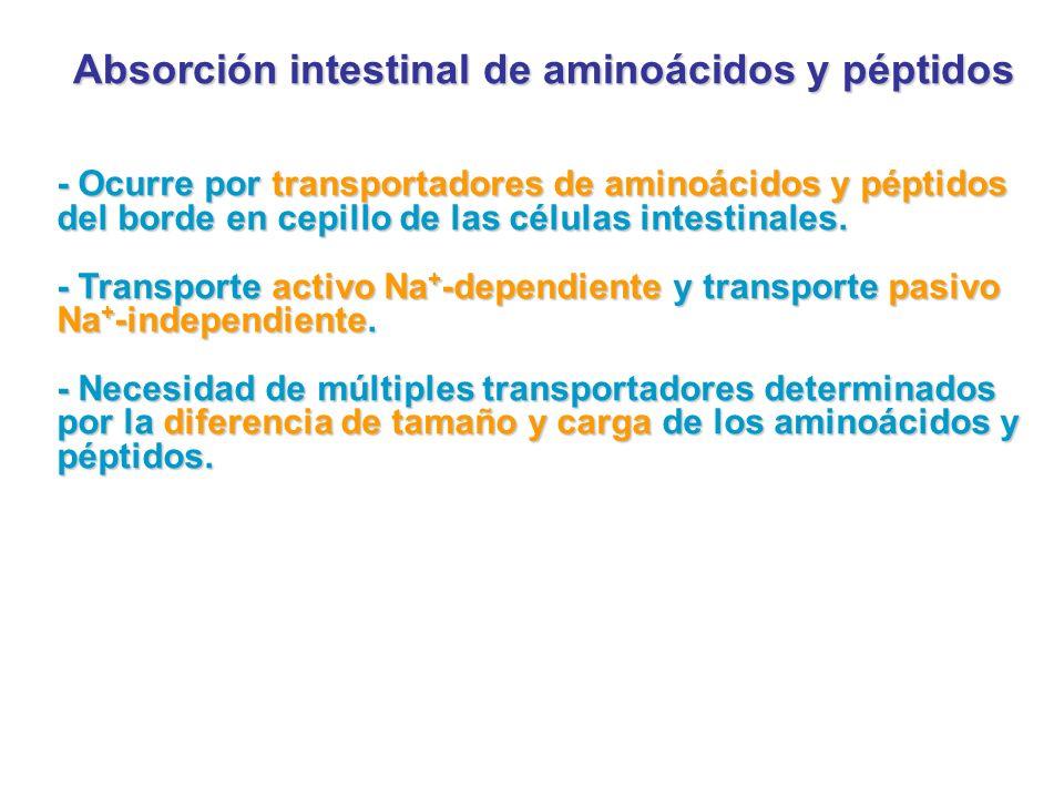 Absorción intestinal de aminoácidos y péptidos - Ocurre por transportadores de aminoácidos y péptidos del borde en cepillo de las células intestinales