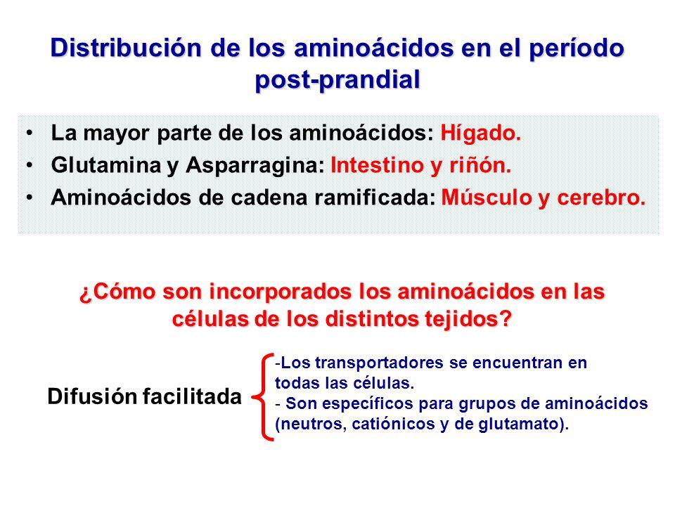 Distribución de los aminoácidos en el período post-prandial La mayor parte de los aminoácidos: Hígado. Glutamina y Asparragina: Intestino y riñón. Ami