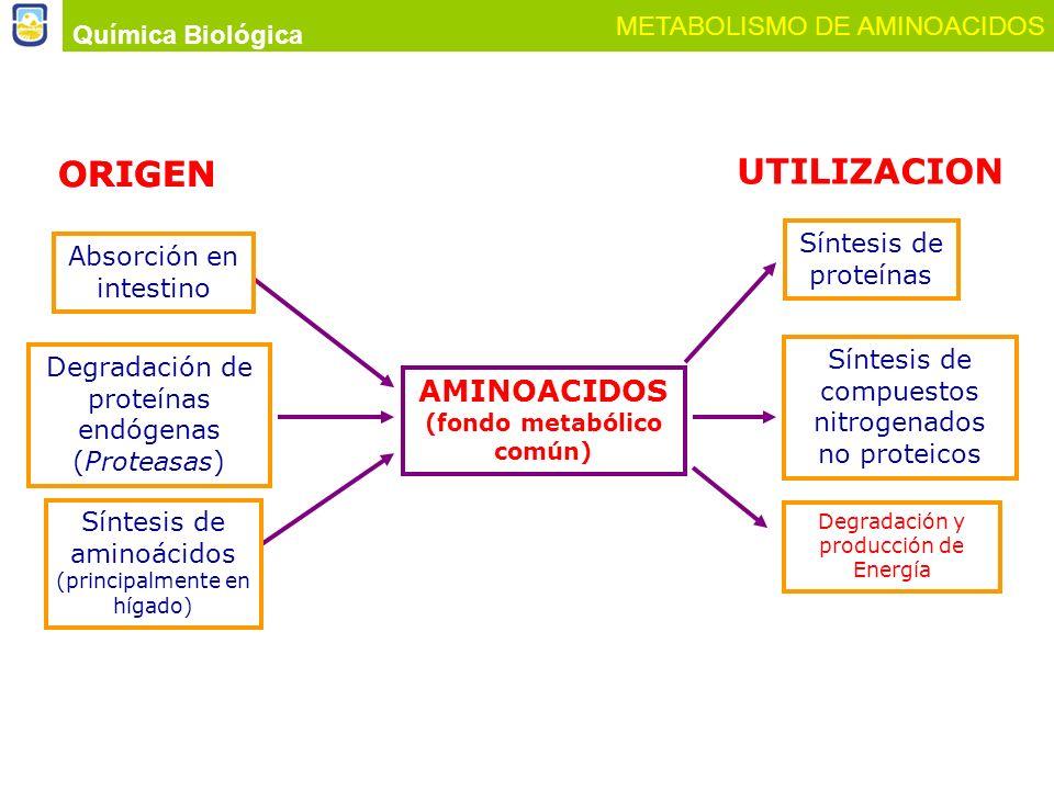 Química Biológica METABOLISMO DE AMINOACIDOS AMINOACIDOS (fondo metabólico común) UTILIZACION Síntesis de proteínas Síntesis de compuestos nitrogenado