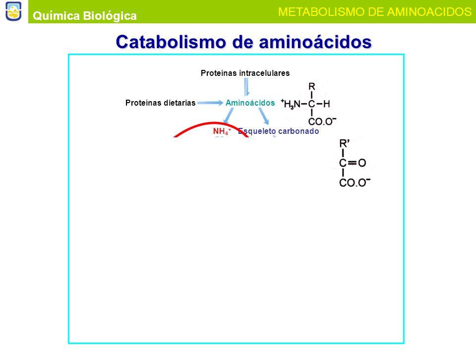 Química Biológica METABOLISMO DE AMINOACIDOS Catabolismo de aminoácidos Proteínas intracelulares Proteínas dietariasAminoácidos Esqueleto carbonadoNH