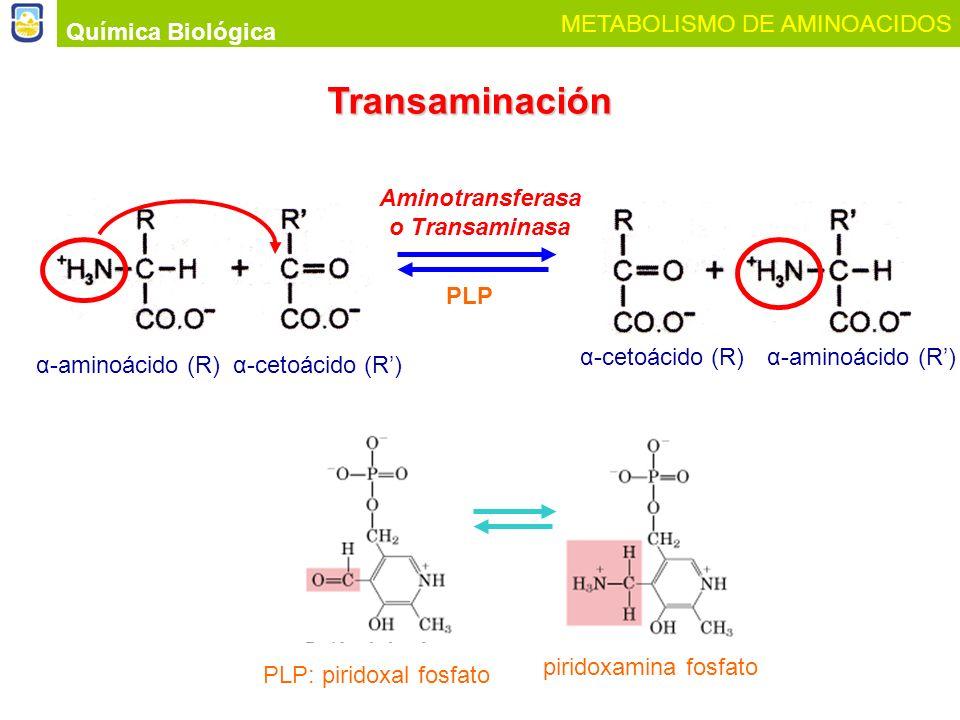 Química Biológica METABOLISMO DE AMINOACIDOS Transaminación α-aminoácido (R)α-cetoácido (R) α-aminoácido (R)α-cetoácido (R) PLP Aminotransferasa o Tra