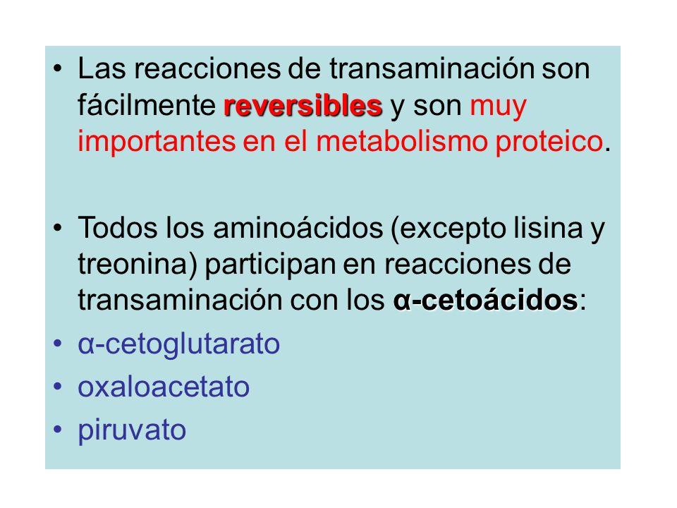 reversiblesLas reacciones de transaminación son fácilmente reversibles y son muy importantes en el metabolismo proteico. α-cetoácidosTodos los aminoác