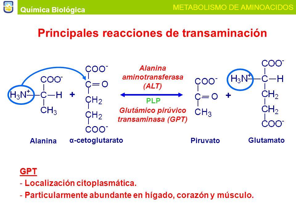Química Biológica METABOLISMO DE AMINOACIDOS Principales reacciones de transaminación PLP Alanina aminotransferasa (ALT) Glutámico pirúvico transamina