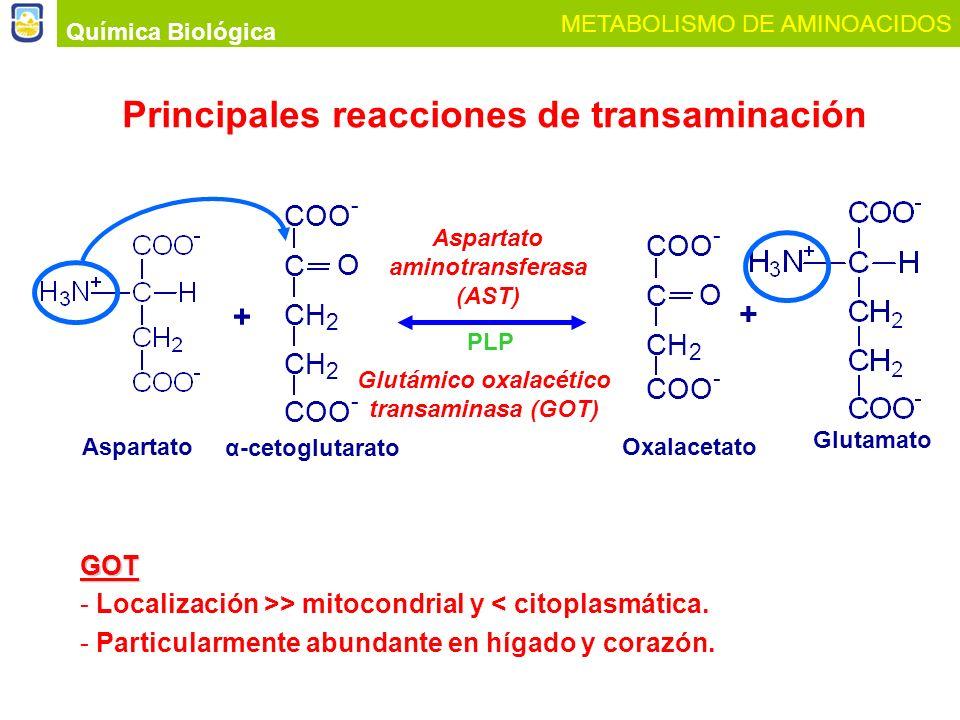 Química Biológica METABOLISMO DE AMINOACIDOS PLP Aspartato aminotransferasa (AST) Glutámico oxalacético transaminasa (GOT) Principales reacciones de t