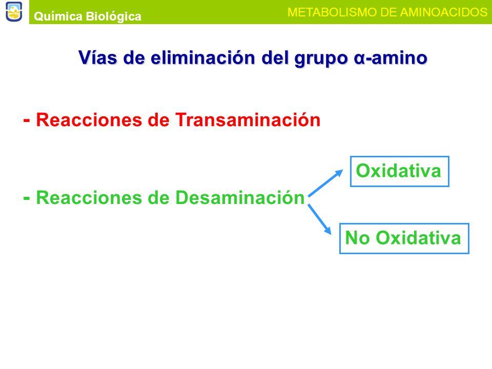 Vías de eliminación del grupo α-amino Química Biológica METABOLISMO DE AMINOACIDOS - Reacciones de Transaminación - Reacciones de Desaminación Oxidati
