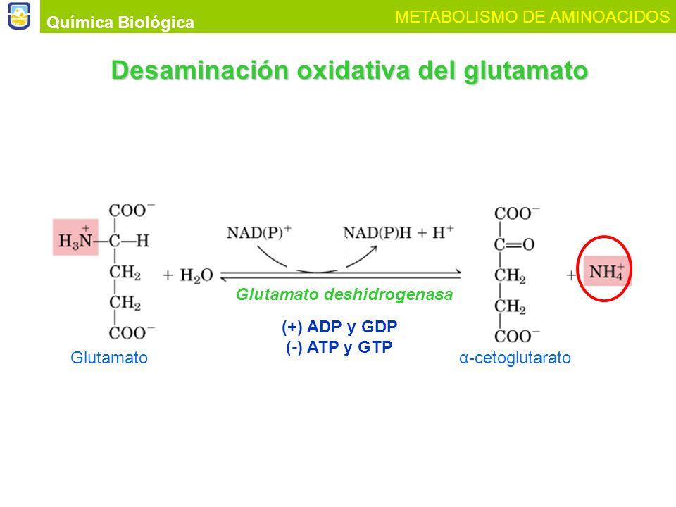 Glutamatoα-cetoglutarato Glutamato deshidrogenasa Química Biológica METABOLISMO DE AMINOACIDOS Desaminación oxidativa del glutamato (+) ADP y GDP (-)
