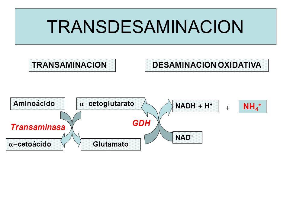 GDH TRANSDESAMINACION TRANSAMINACIONDESAMINACION OXIDATIVA Aminoácido cetoglutarato Glutamato cetoácido NADH + H + NAD + NH 4 + + Transaminasa