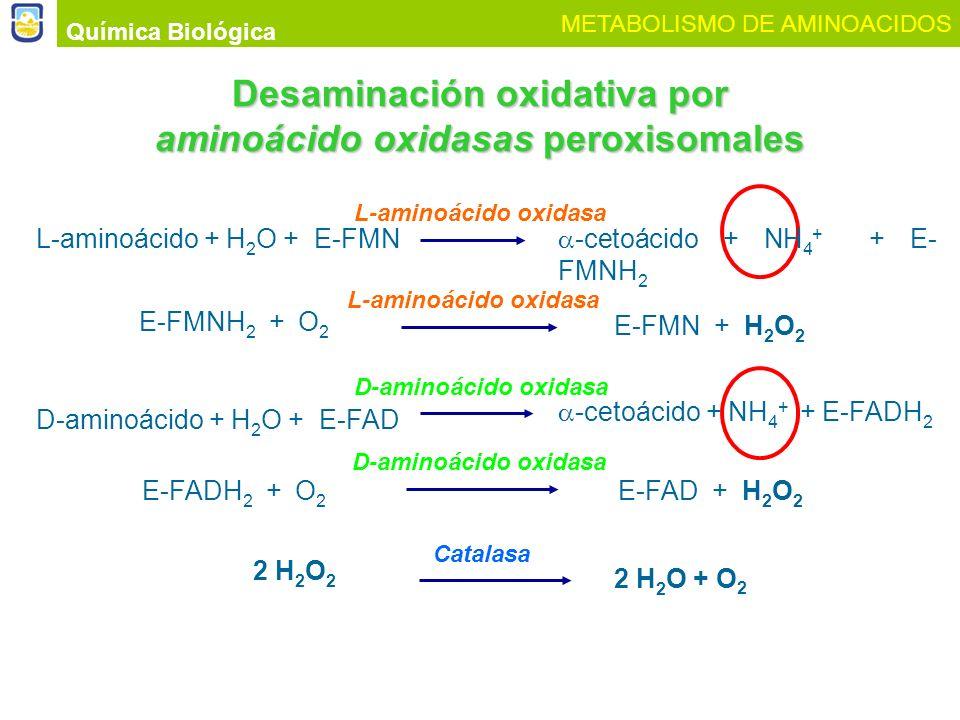 Química Biológica METABOLISMO DE AMINOACIDOS Desaminación oxidativa por aminoácido oxidasas peroxisomales D-aminoácido + H 2 O + E-FAD E-FADH 2 + O 2