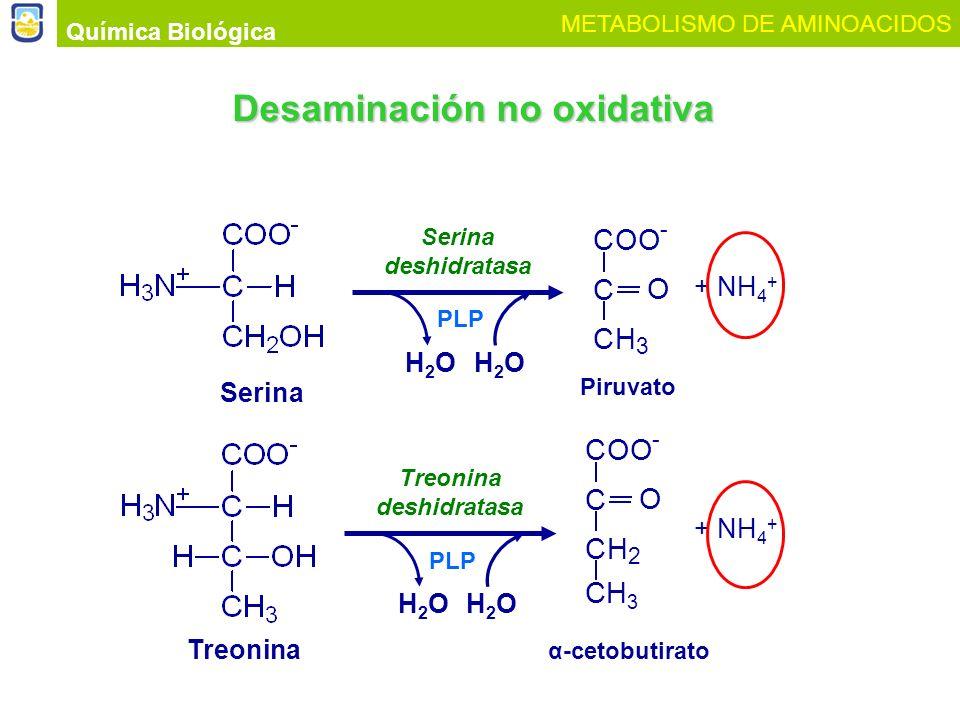 Química Biológica METABOLISMO DE AMINOACIDOS Desaminación no oxidativa Serina COO - C CH 3 O Piruvato + NH 4 + PLP Serina deshidratasa H2OH2OH2OH2O Tr