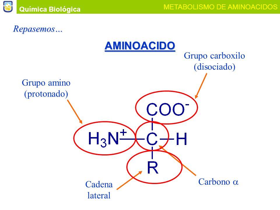 AMINOACIDO Química Biológica METABOLISMO DE AMINOACIDOS Grupo carboxilo (disociado) Cadena lateral Carbono Grupo amino (protonado)Repasemos…