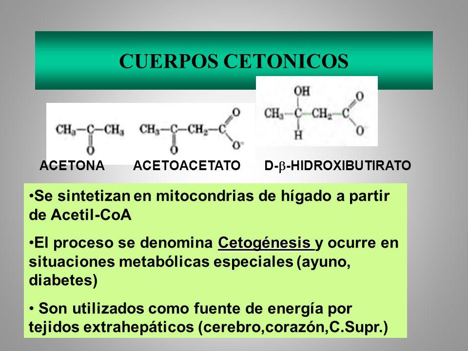 CUERPOS CETONICOS ACETONAACETOACETATO D- -HIDROXIBUTIRATO Se sintetizan en mitocondrias de hígado a partir de Acetil-CoA CetogénesisEl proceso se deno