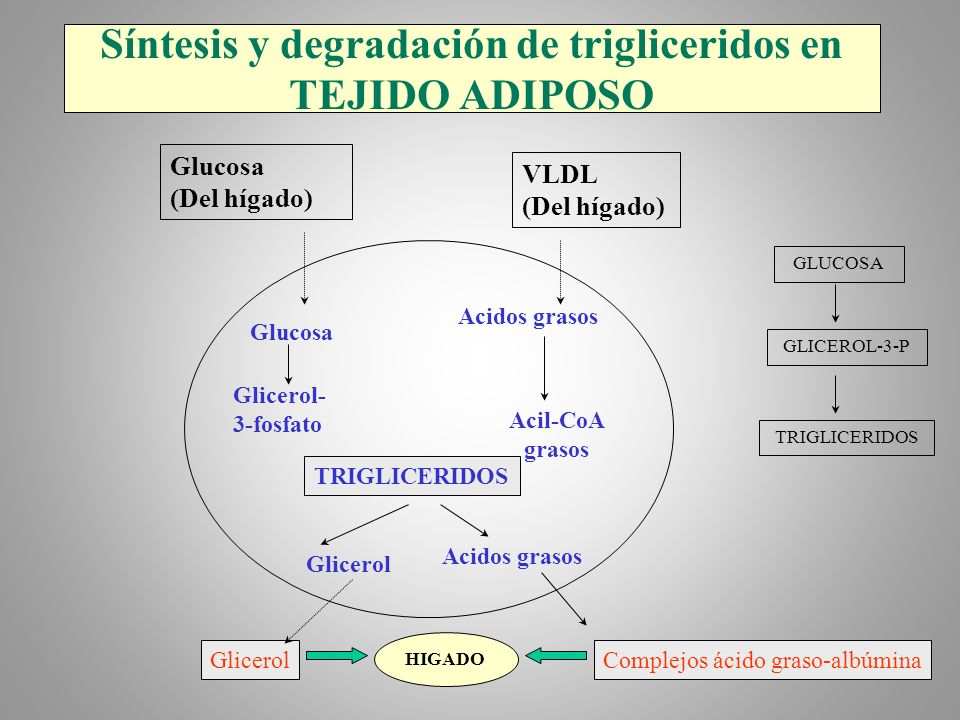 Síntesis y degradación de trigliceridos en TEJIDO ADIPOSO Glucosa (Del hígado) VLDL (Del hígado) Glucosa Acidos grasos Glicerol- 3-fosfato Acil-CoA gr