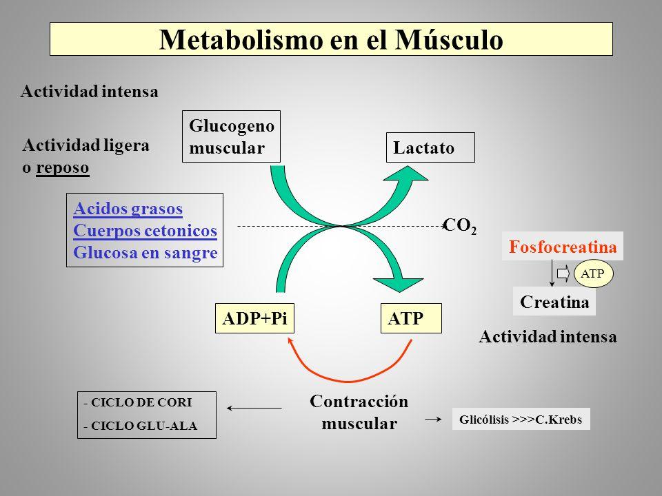 Metabolismo en el Músculo Actividad ligera o reposo Glucogeno muscular Lactato Acidos grasos Cuerpos cetonicos Glucosa en sangre CO 2 ADP+PiATP Contra