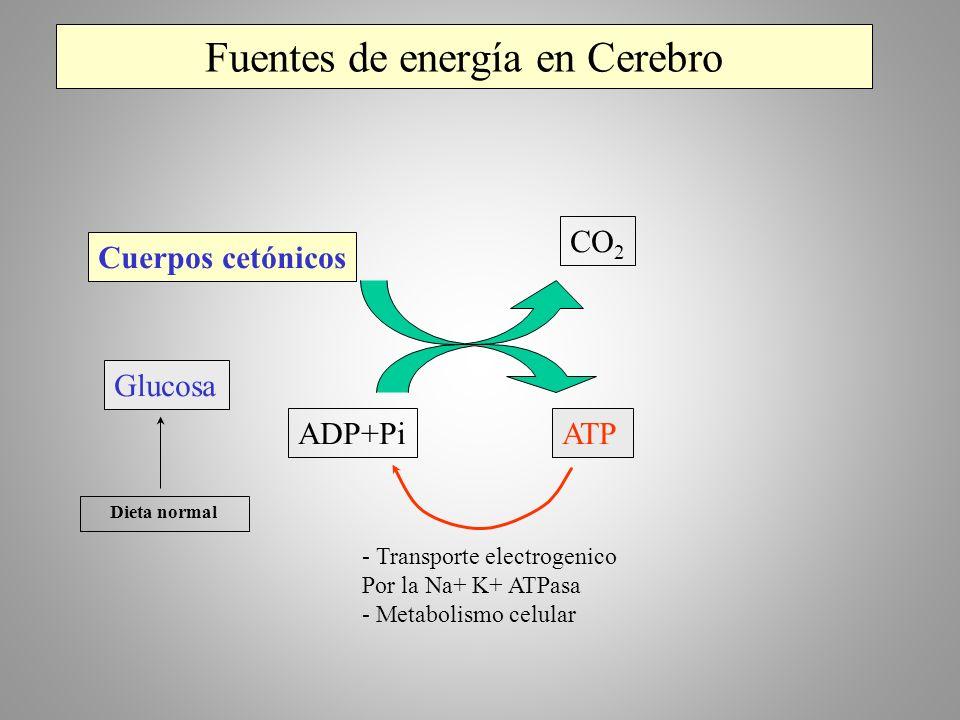 Fuentes de energía en Cerebro Cuerpos cetónicos CO 2 Glucosa ADP+PiATP - Transporte electrogenico Por la Na+ K+ ATPasa - Metabolismo celular Dieta nor