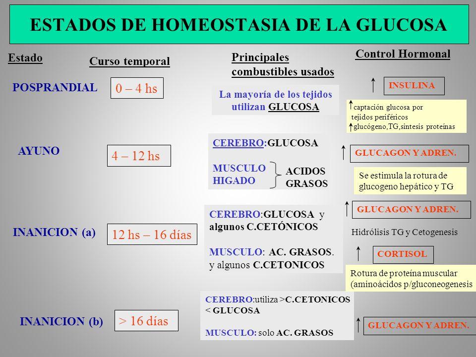 ESTADOS DE HOMEOSTASIA DE LA GLUCOSA Estado Curso temporal POSPRANDIAL Principales combustibles usados Control Hormonal 0 – 4 hs La mayoría de los tej