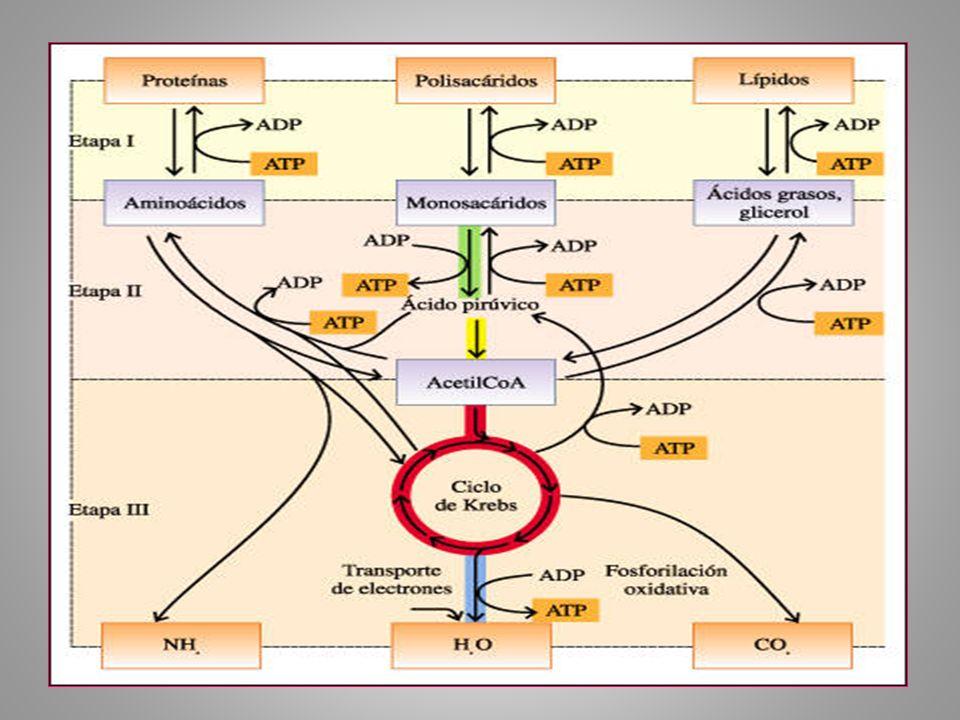 Microorganismos anaerobios facultativo, en un medio con suficiente fuente de carbono en condiciones anaeróbicas y en condiciones aeróbicas.