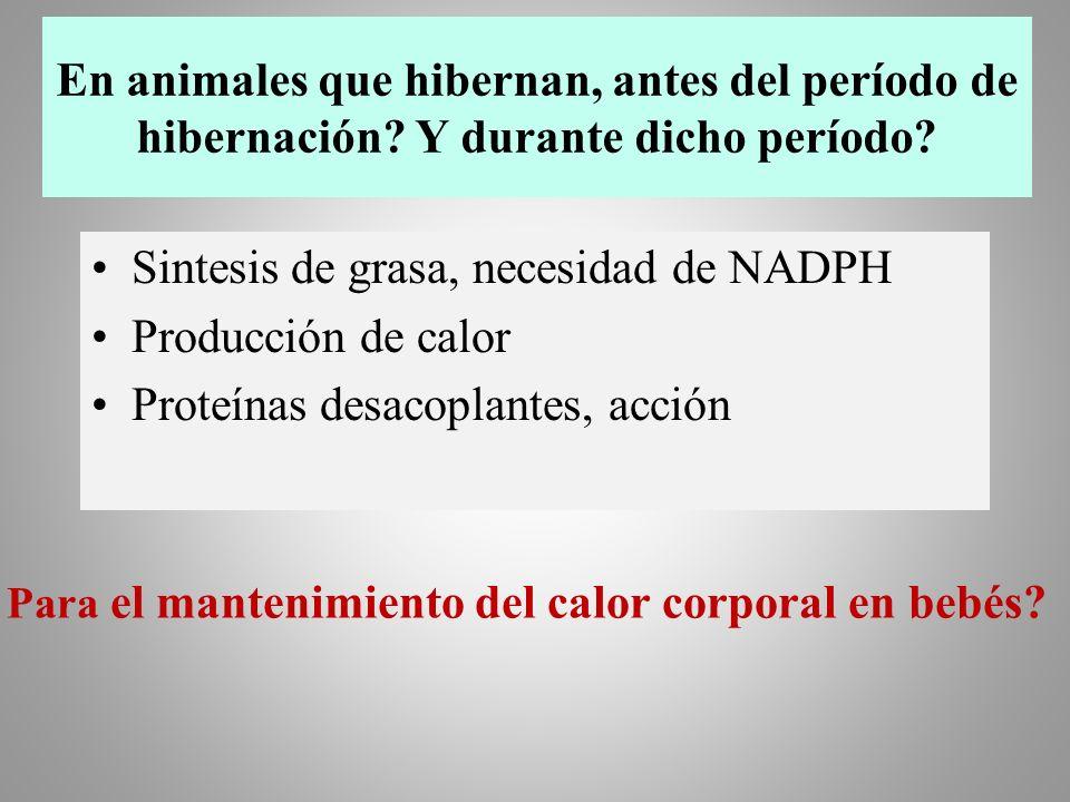 En animales que hibernan, antes del período de hibernación? Y durante dicho período? Sintesis de grasa, necesidad de NADPH Producción de calor Proteín