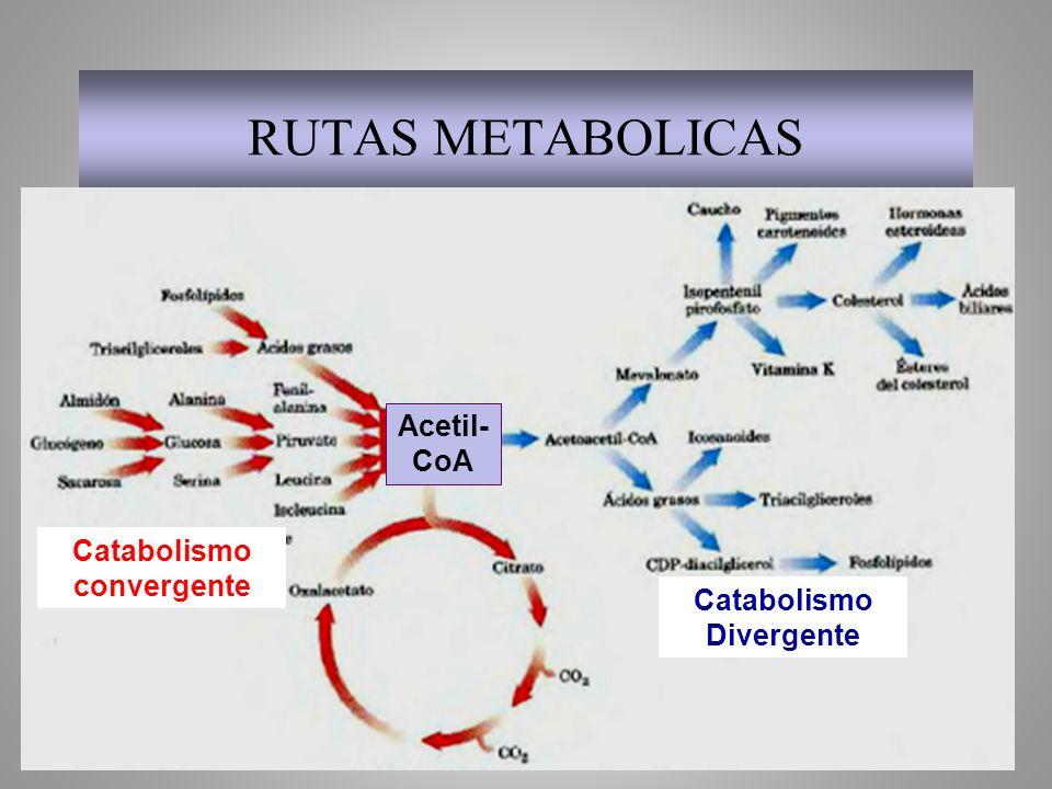 RUTAS METABOLICAS Acetil- CoA Catabolismo convergente Catabolismo Divergente