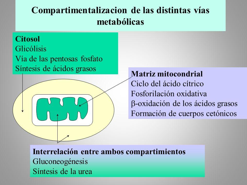 Citosol Glicólisis Vía de las pentosas fosfato Síntesis de ácidos grasos Matriz mitocondrial Ciclo del ácido cítrico Fosforilación oxidativa -oxidació