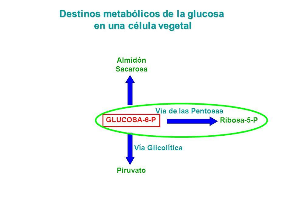 VIA DE LAS PENTOSAS Tiene lugar en el citosol celular, igual que la vía glicolítica.