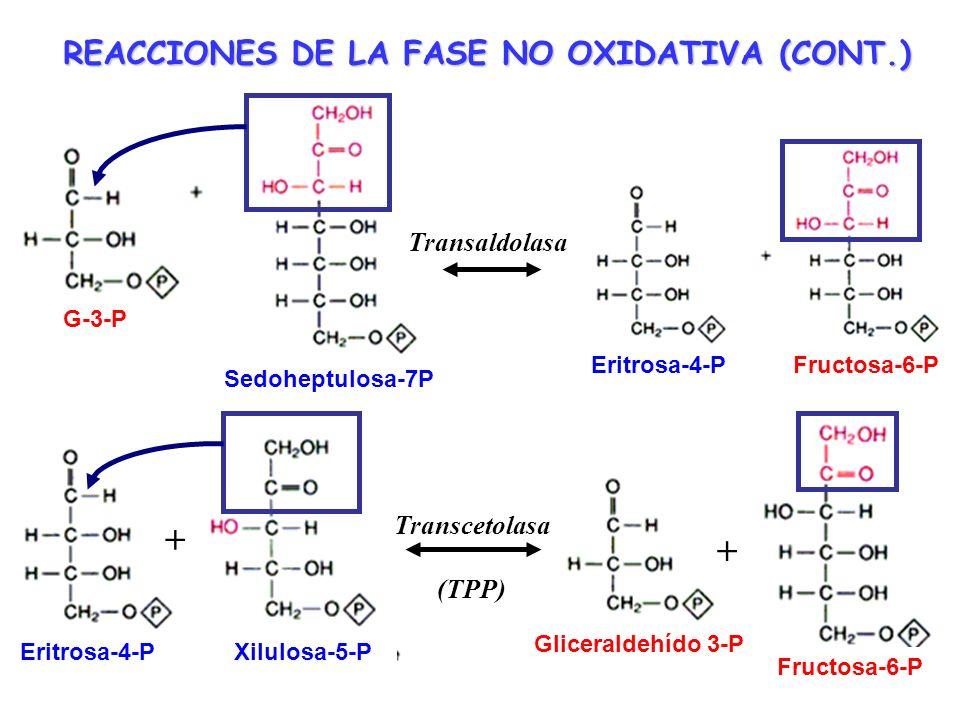 Enzima limitante de la velocidad o enzima reguladora de la Vía de las Pentosas Inhibida alostéricamente por el NADPH Activada por NADP + Inhibida por la luz en cloroplastos Regulación de la Vía de las Pentosas Fosfato