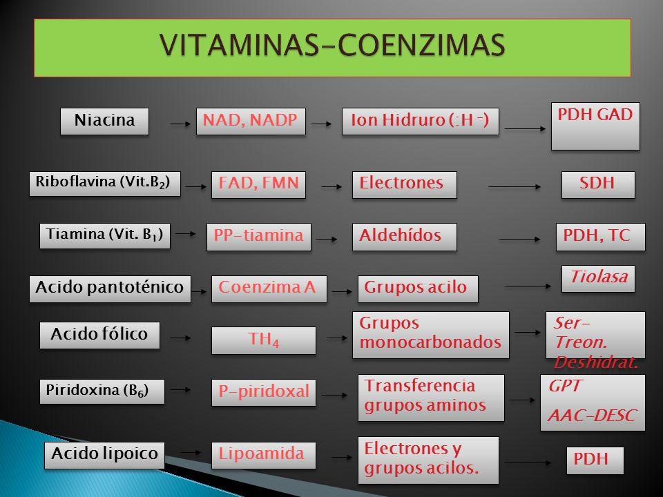 Niacina NAD, NADP Ion Hidruro (:H - ) PDH GAD Riboflavina (Vit.B 2 ) FAD, FMN Electrones SDH Tiamina (Vit. B 1 ) PP-tiamina Aldehídos PDH, TC Acido fó