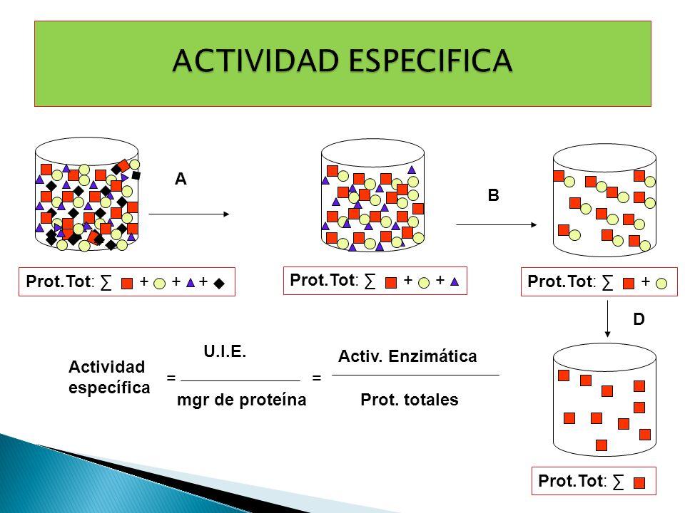 ++ Prot.Tot: + + + A B + D Actividad específica U.I.E. mgr de proteína == Activ. Enzimática Prot. totales