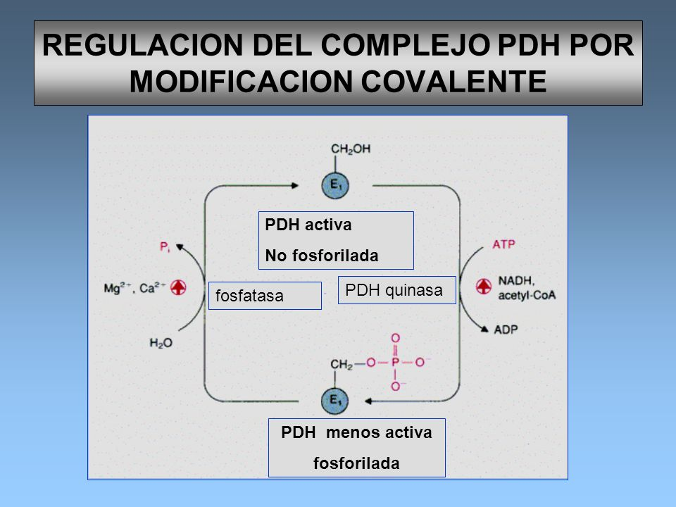REGULACION DEL COMPLEJO PDH POR MODIFICACION COVALENTE PDH activa No fosforilada PDH menos activa fosforilada fosfatasa PDH quinasa