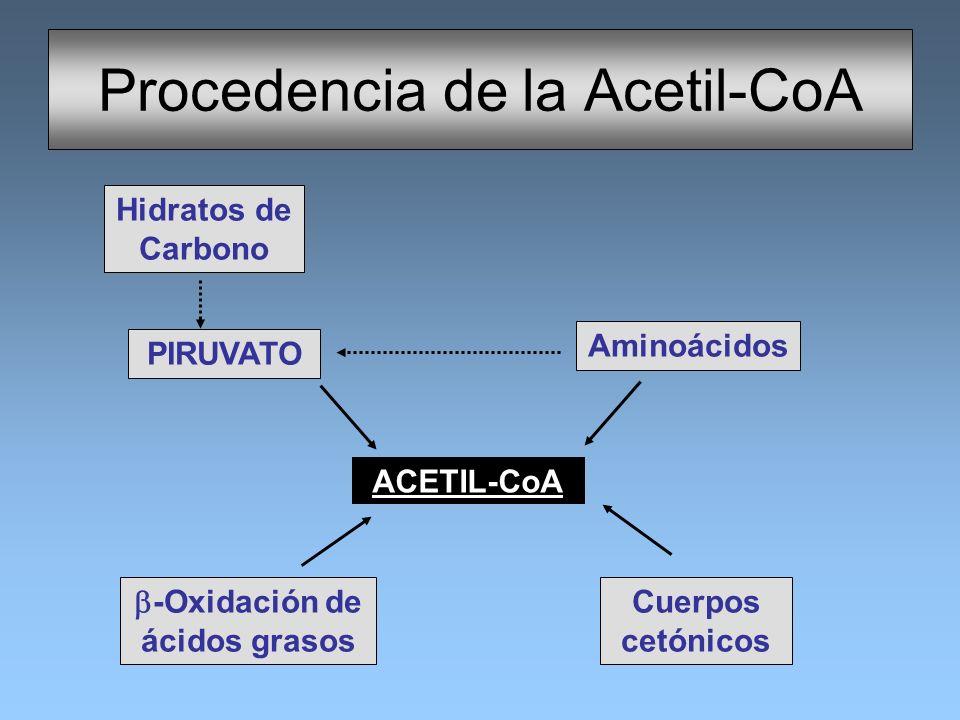 Procedencia de la Acetil-CoA ACETIL-CoA Aminoácidos PIRUVATO -Oxidación de ácidos grasos Cuerpos cetónicos Hidratos de Carbono
