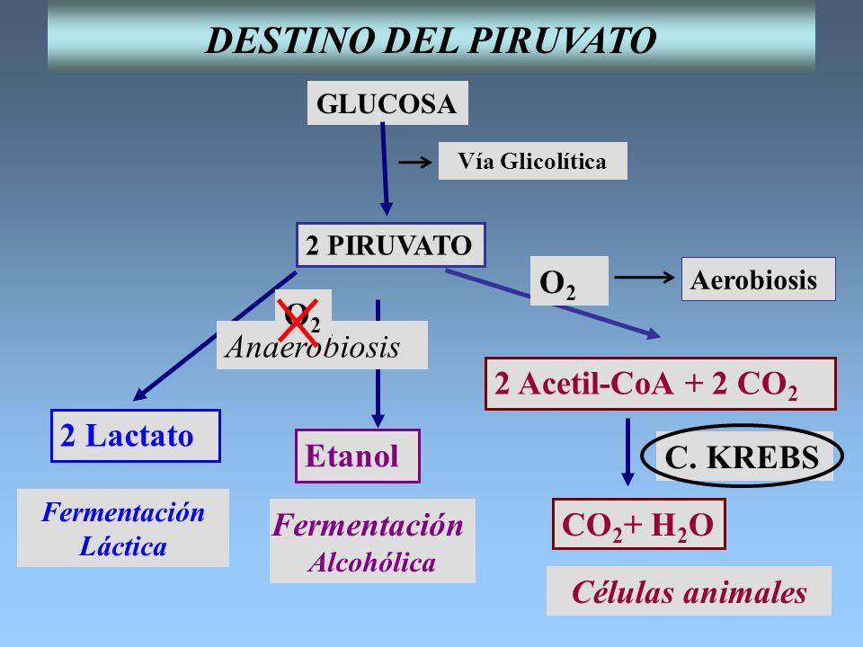 GLUCOSA 2 PIRUVATO Vía Glicolítica Aerobiosis O2O2 Fermentación Alcohólica Fermentación Láctica Etanol 2 Lactato 2 Acetil-CoA + 2 CO 2 CO 2 + H 2 O C.