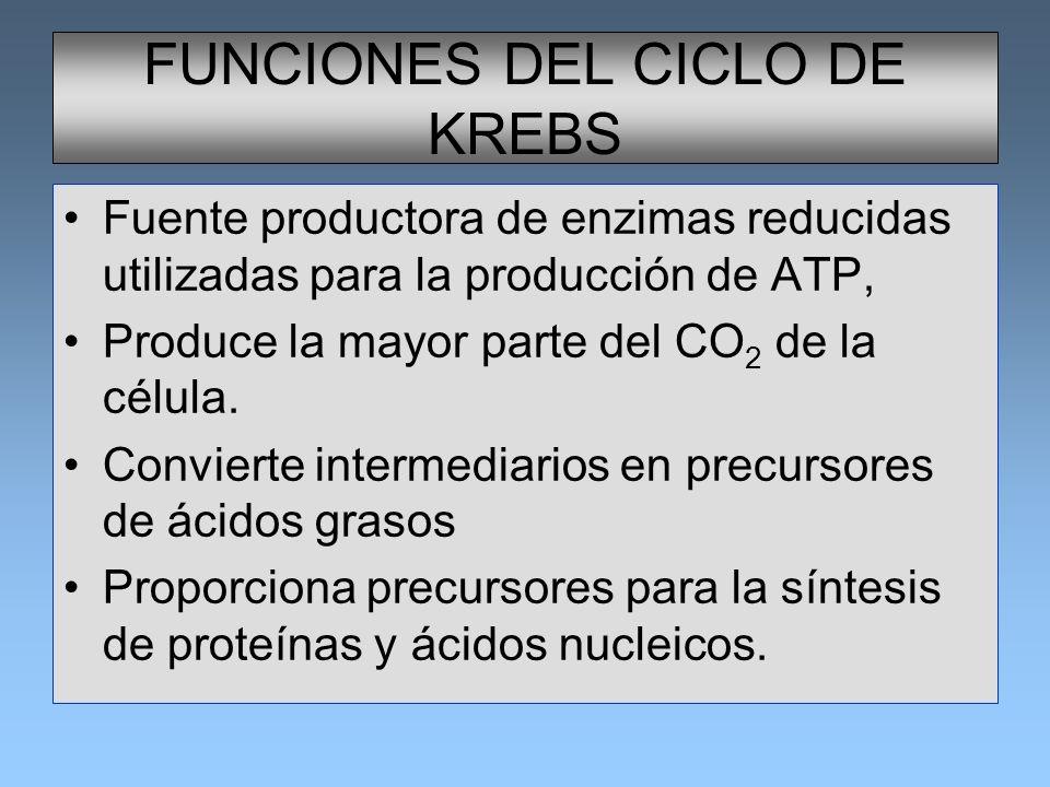 FUNCIONES DEL CICLO DE KREBS Fuente productora de enzimas reducidas utilizadas para la producción de ATP, Produce la mayor parte del CO 2 de la célula
