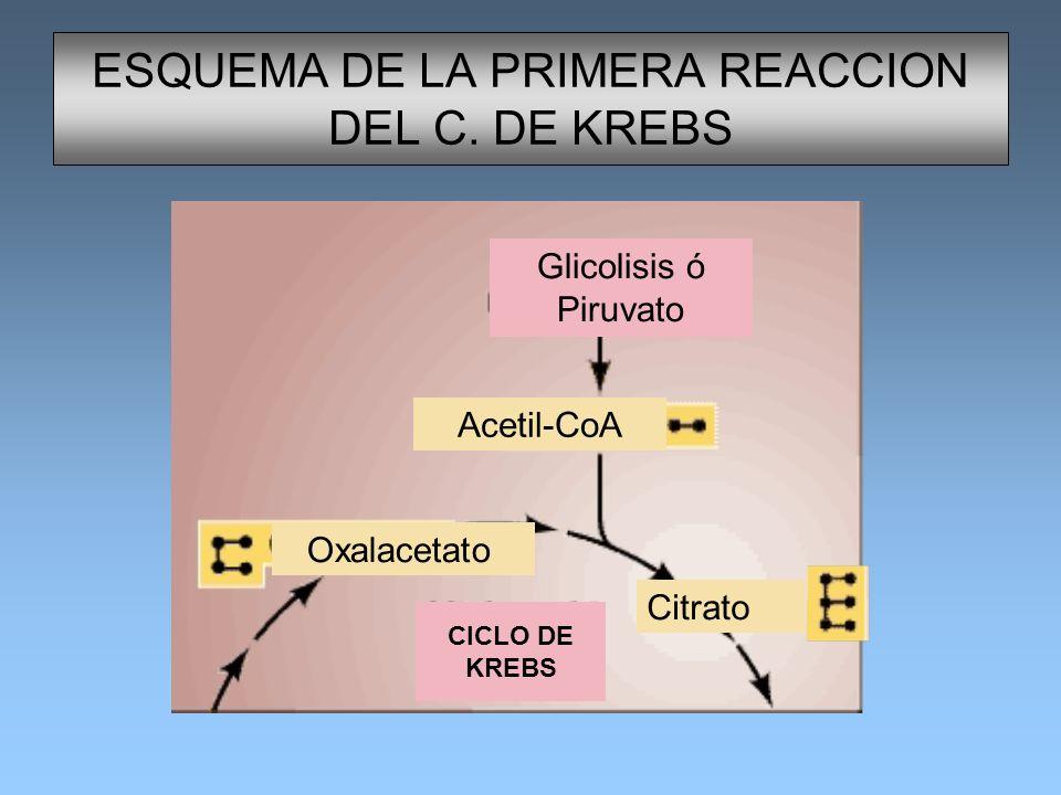 ESQUEMA DE LA PRIMERA REACCION DEL C. DE KREBS Glicolisis ó Piruvato Acetil-CoA CICLO DE KREBS Oxalacetato Citrato