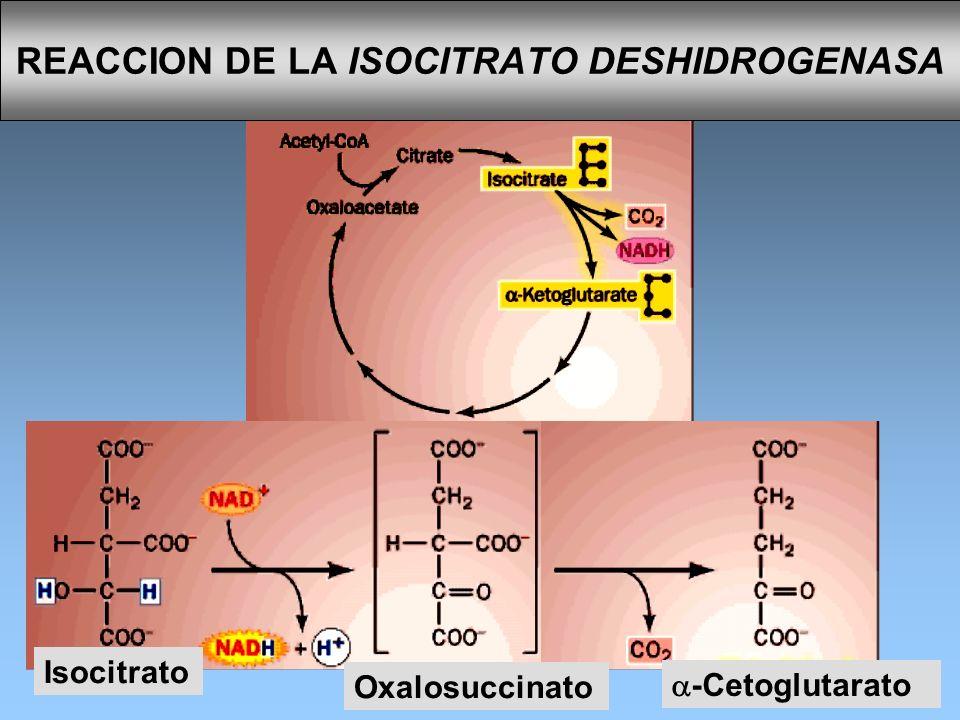 REACCION DE LA ISOCITRATO DESHIDROGENASA Isocitrato -Cetoglutarato Oxalosuccinato