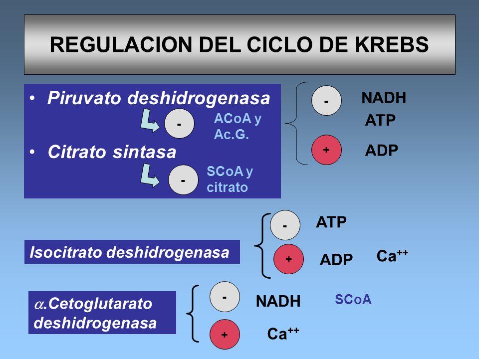 REGULACION DEL CICLO DE KREBS Piruvato deshidrogenasa Citrato sintasa - NADH ATP ADP +.Cetoglutarato deshidrogenasa - NADH - ATP Ca ++ + ADP + Ca ++ I