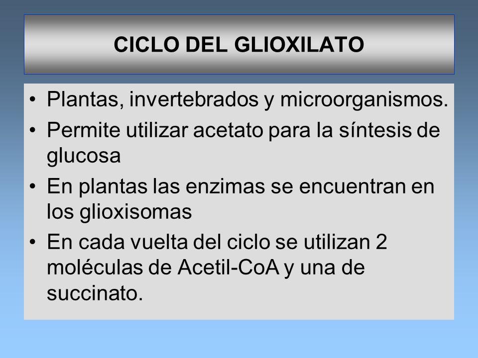 CICLO DEL GLIOXILATO Plantas, invertebrados y microorganismos. Permite utilizar acetato para la síntesis de glucosa En plantas las enzimas se encuentr