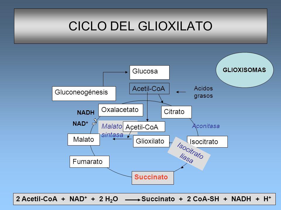 Malato sintasa CICLO DEL GLIOXILATO Isocitrato liasa Oxalacetato Citrato Aconitasa Succinato Fumarato Acetil-CoA Glucosa Acetil-CoA Isocitrato Glucone