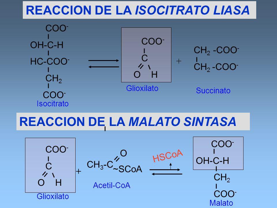 REACCION DE LA ISOCITRATO LIASA COO - OH-C-H HC-COO - CH 2 COO - ו ו ו ו CH 2 -COO - ו COO - C O H װ ו ו Isocitrato Glioxilato Succinato + COO - C O H