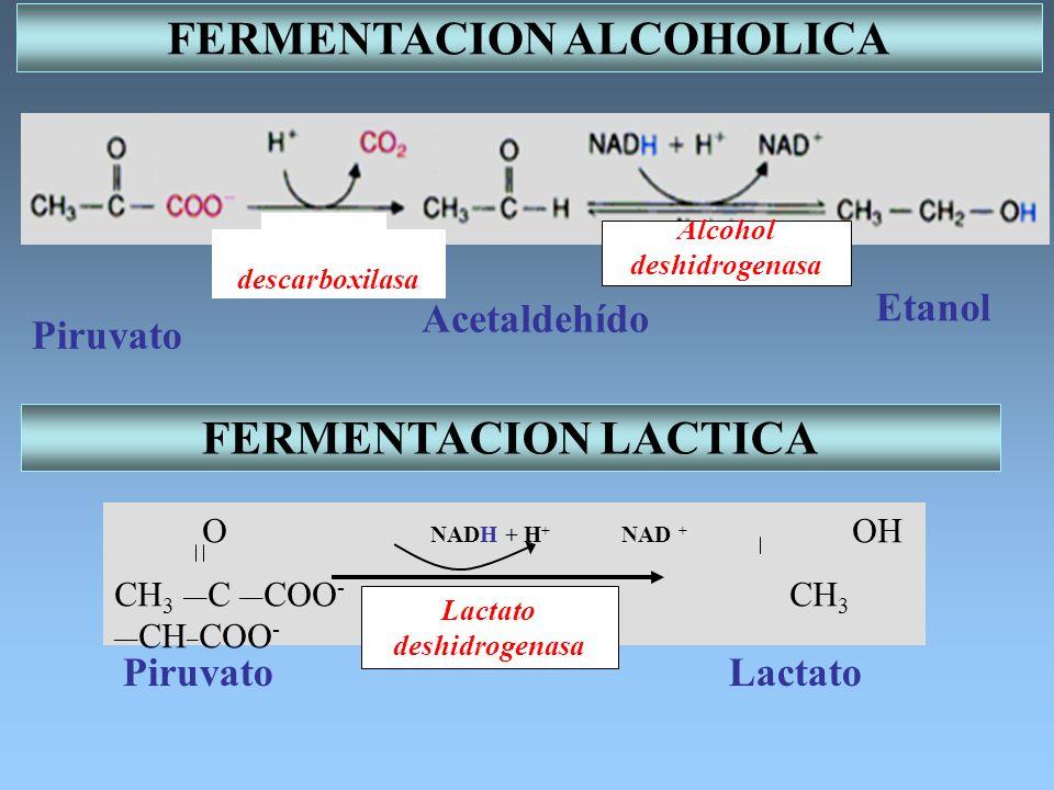 DESCARBOXILACION DEL PIRUVATO Hidroxietilo activado PIRUVATO ACETIL-CoA Acetil activado